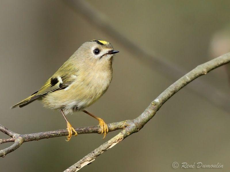 Roitelet hupp adulte ref redu171314 for Petit oiseau avec houpette