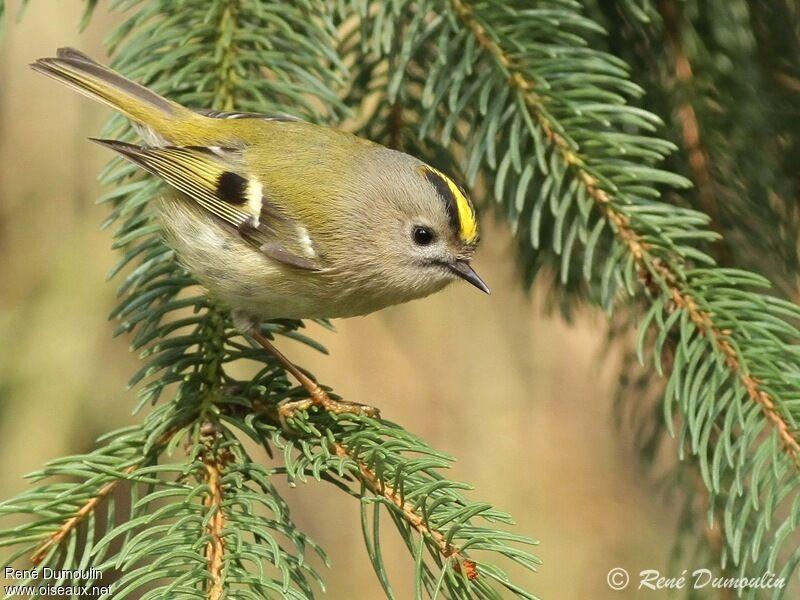 Roitelet hupp m le adulte ref redu99777 for Oiseau jaune france