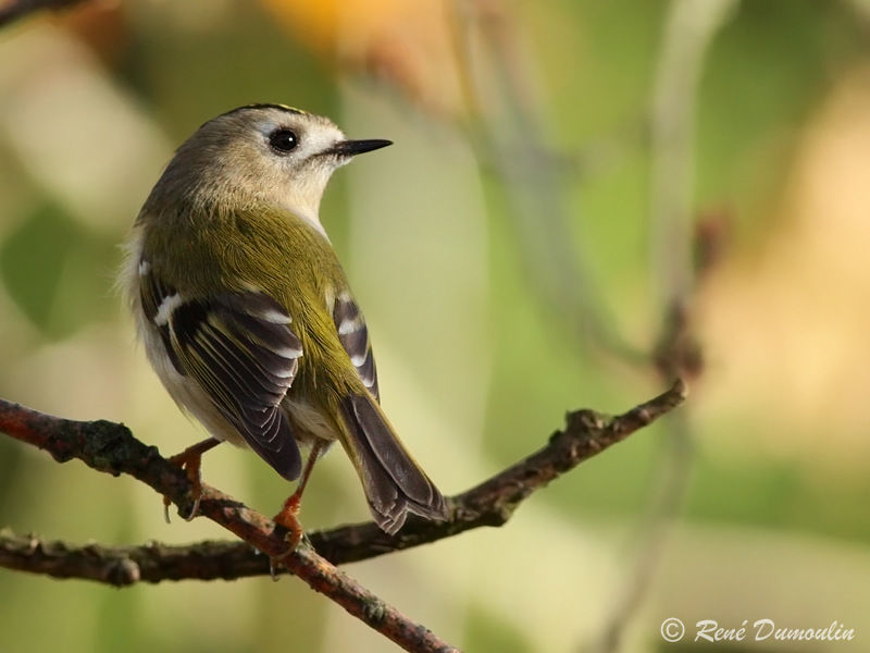 Roitelet hupp adulte ref redu76820 for Petit oiseau avec houpette