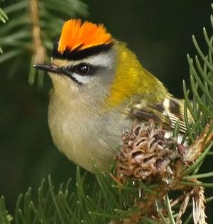 Roitelet triple bandeau regulus ignicapilla for Petit oiseau avec houpette