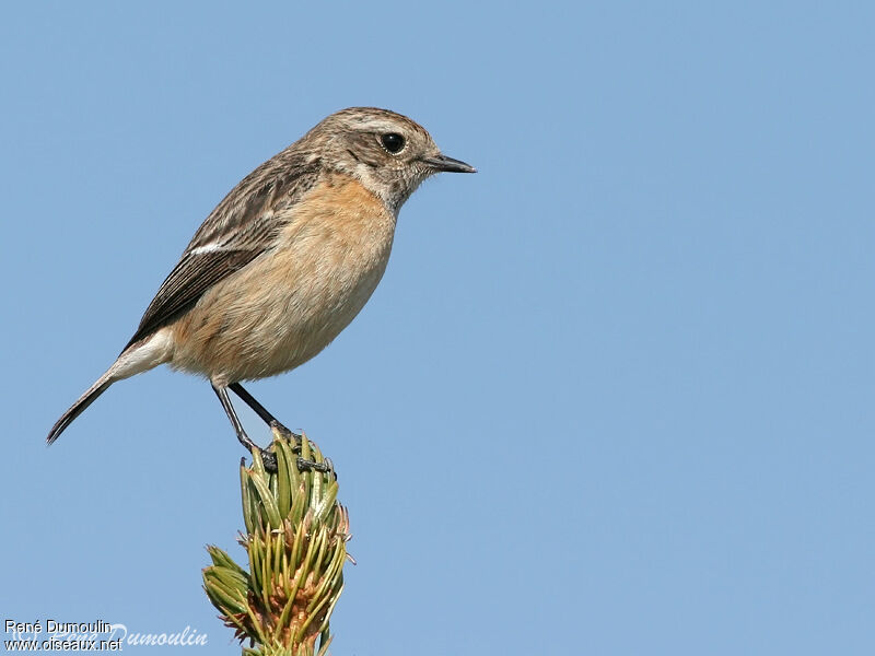 european stonechat saxicola rubicola female adult ref. Black Bedroom Furniture Sets. Home Design Ideas