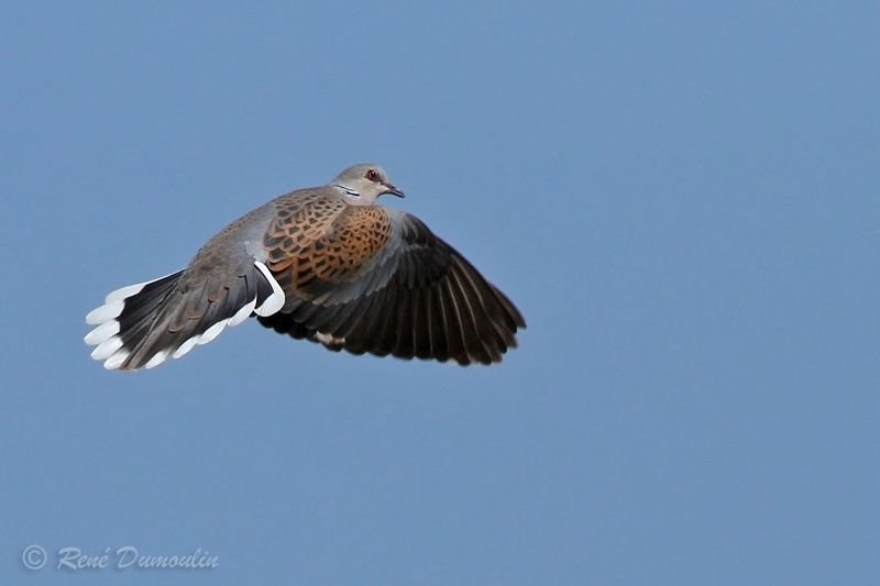 European Turtle Dove adult breeding, identification, Flight