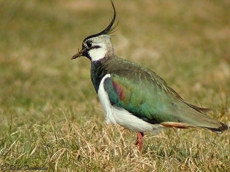 Vanneau hupp adulte ref redu17995 for Houpette oiseau