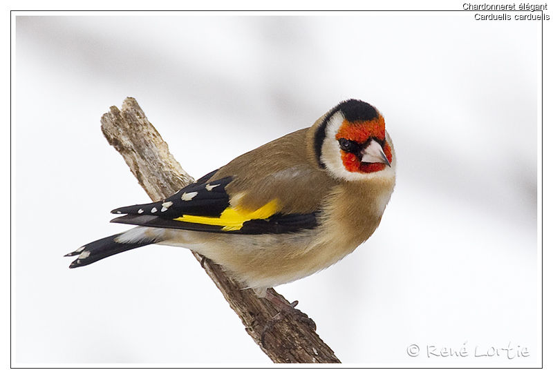 European Goldfinch , identification