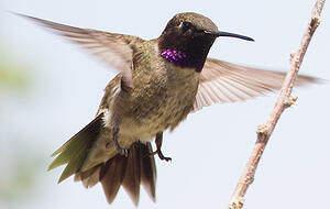 Colibri à gorge noire