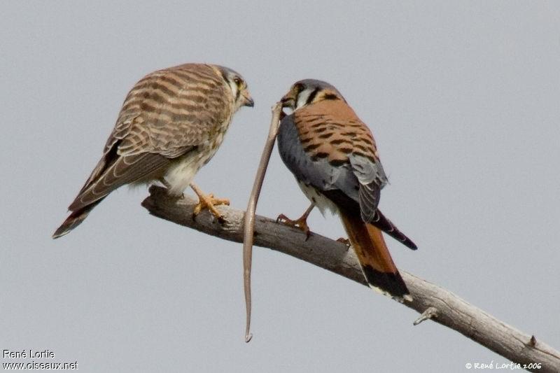 Falconiformes. sub Falconidae - sub fam Falconinae - gênero Falco - Página 3 Crecerelle.d.amerique.relo.5g
