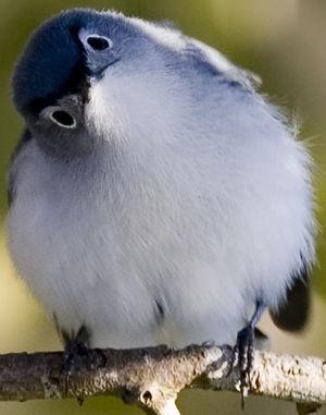 Gobemoucheron gris-bleu