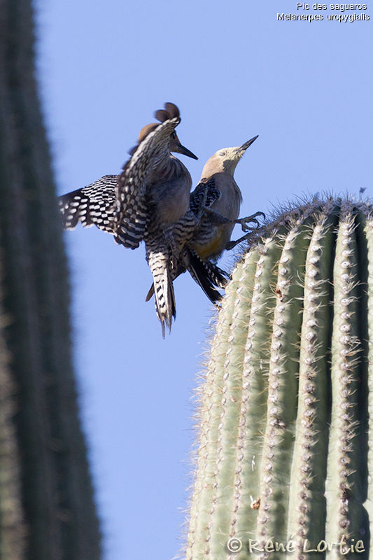 Pic des saguaros adulte, identification, Comportement