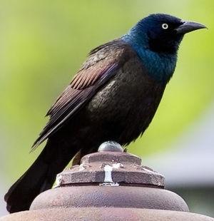 Quiscale bronz quiscalus quiscula for Oiseau tete noire