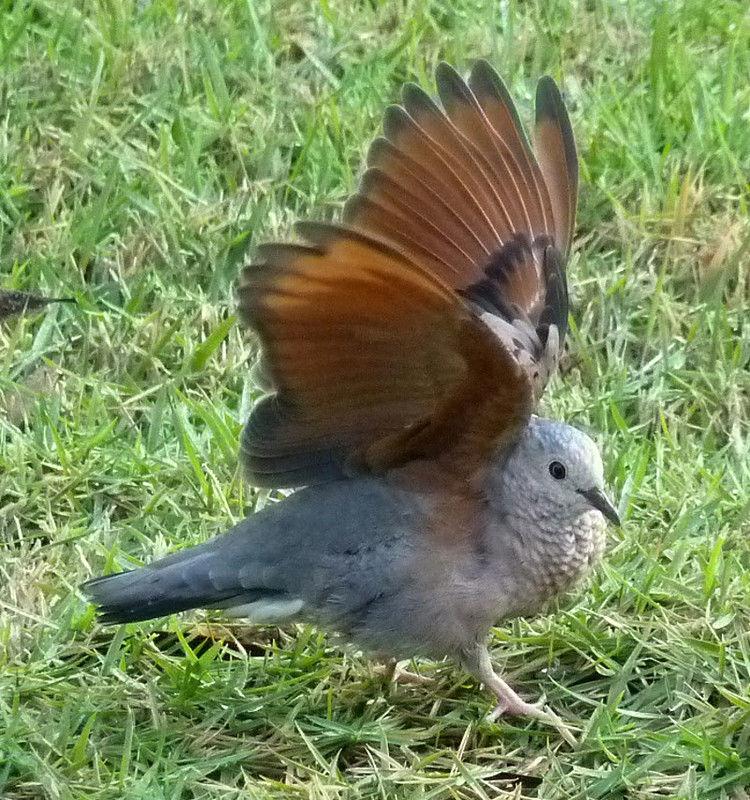 Oiseau de Martine 09/02/2015 trouvé par Ajonc Colombe.a.queue.noire.reod.4g