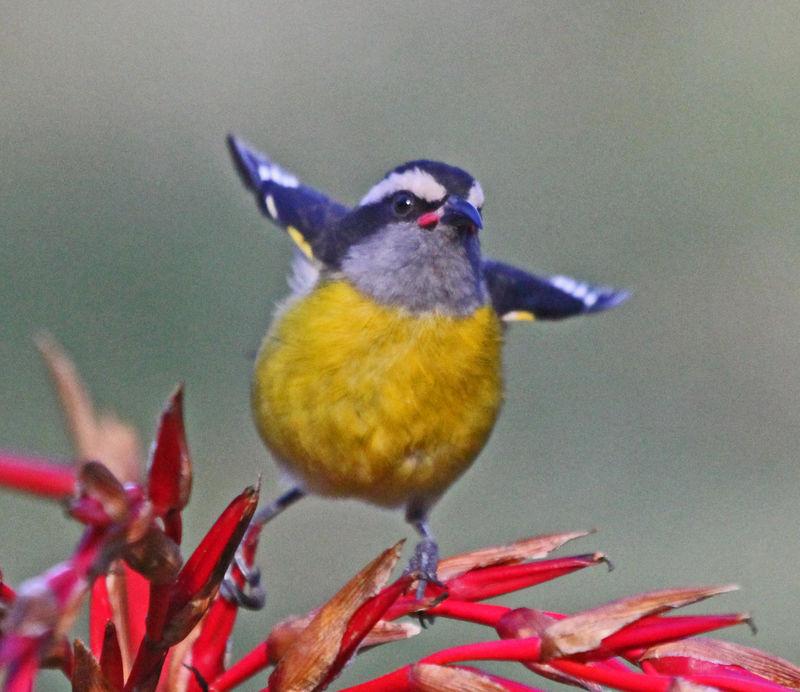Sucrier ventre jaune ref reod98528 for Oiseau ventre jaune