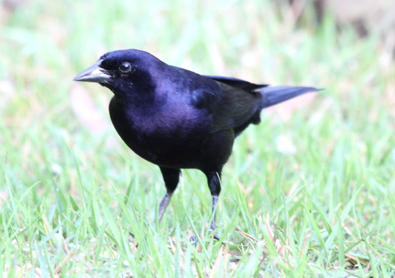 Shiny Cowbird male adult