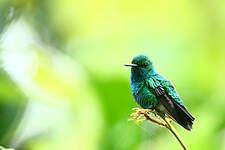 Colibri à menton bleu