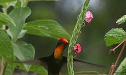 Colibri rubis-topaze