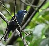 Évêque bleu-noir