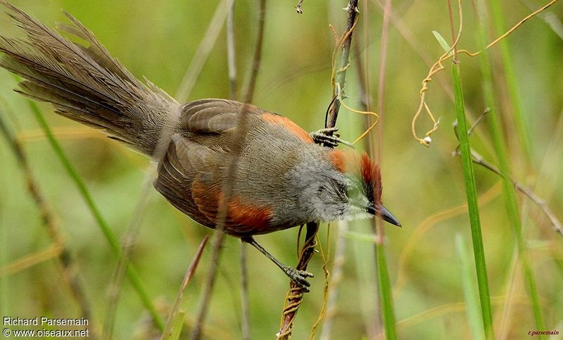 Pale-breasted Spinetail - Synallaxis Albescens Adult