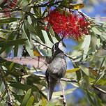 Colibri à ventre châtain