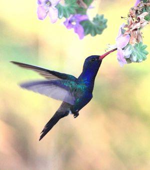Colibri de Doubleday