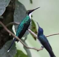 Colibri féérique