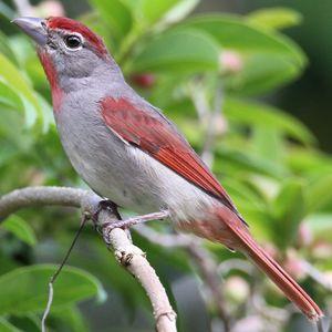 Tangara à gorge rose