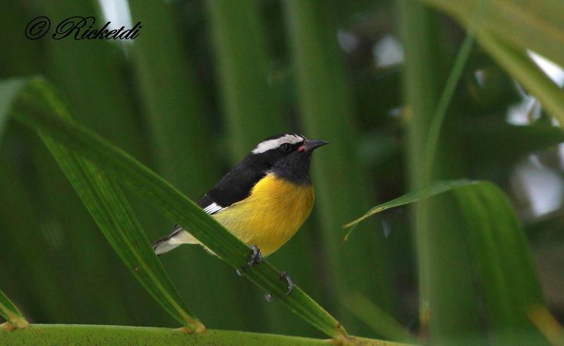 Sucrier ventre jaune ref fori171343 for Oiseau ventre jaune