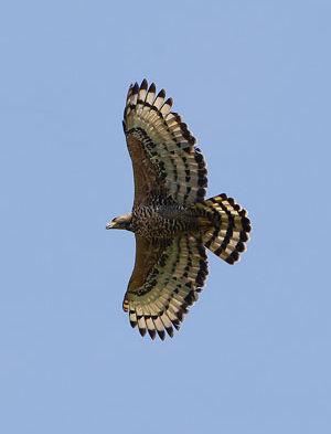 Aigle couronné