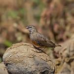 Astrild-caille d'Éthiopie