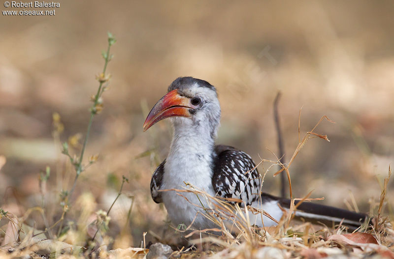 Calao bec rouge femelle ref roba175658 for Oiseau bec rouge