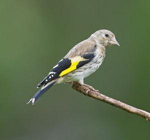reconnaitre oiseaux jardin