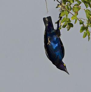 Choucador à oreillons bleus