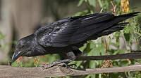 Corbeau à queue courte