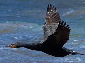 Cormoran du Cap
