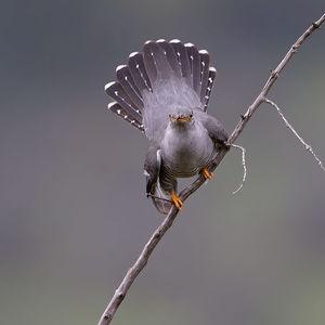 Coucou gris