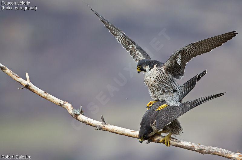oiseaux faucon faucon p 232 lerin falco peregrinus
