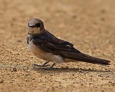 Hirondelle sud-africaine
