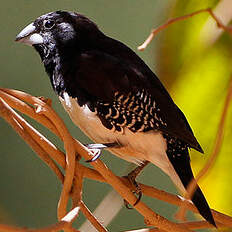 Capucin bicolore