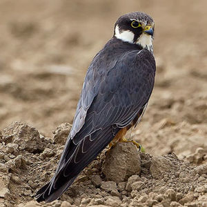 Faucon hobereau