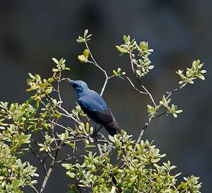 Monticole bleu