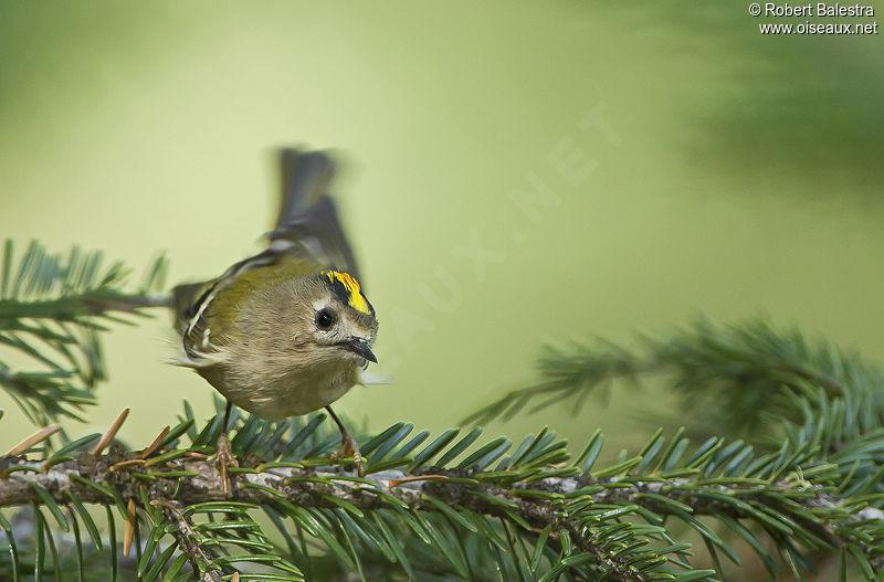 Photos des oiseaux de france page 518 for Petit oiseau avec houpette