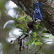 Sittelle bleue