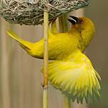 Tisserin jaune