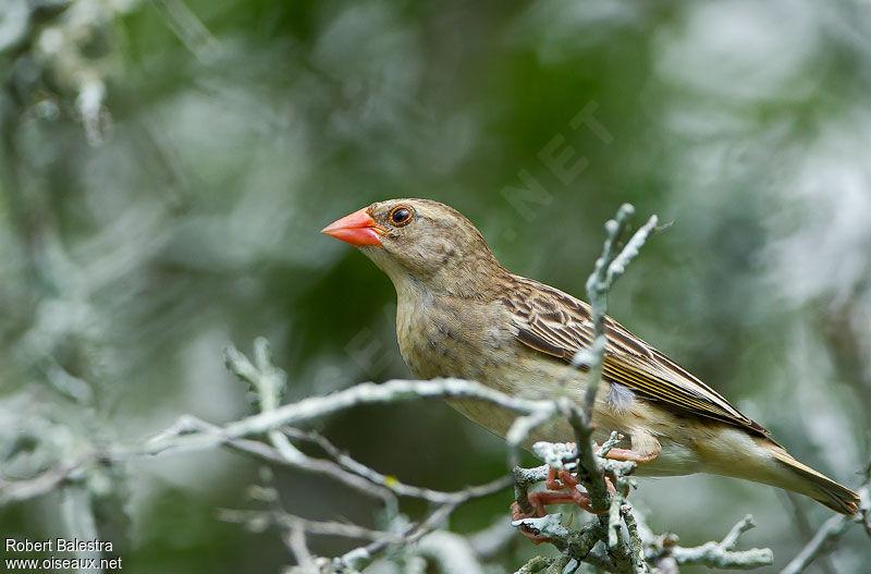 Travailleur bec rouge femelle adulte ref roba151449 for Oiseau bec rouge