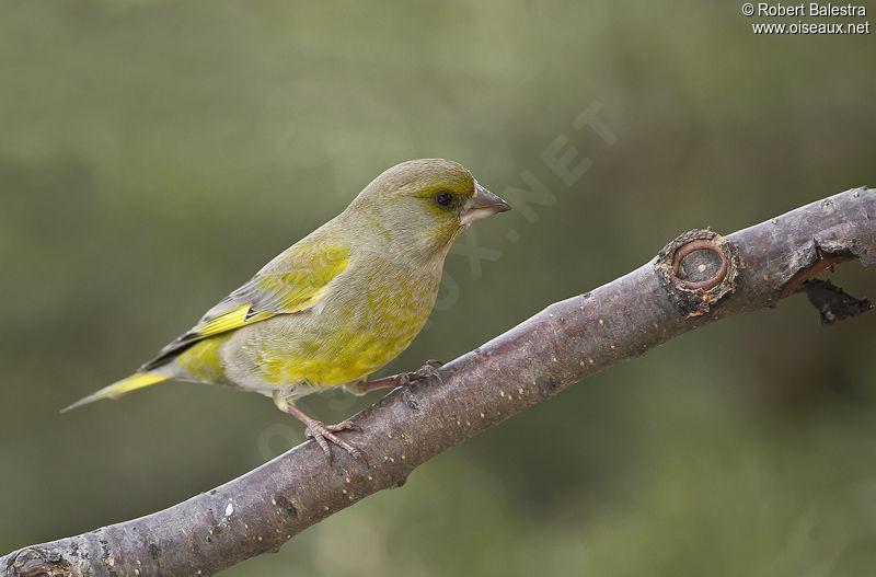 Verdier d 39 europe chloris chloris for Liste oiseaux des jardins