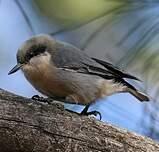 Sittelle pygmée