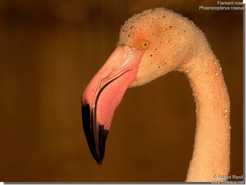 Flamant rose adulte