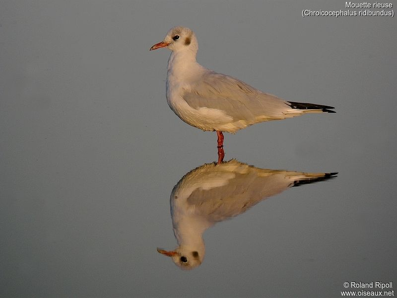 Mouette rieuse adulte internuptial