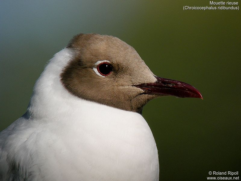 Mouette rieuse adulte nuptial