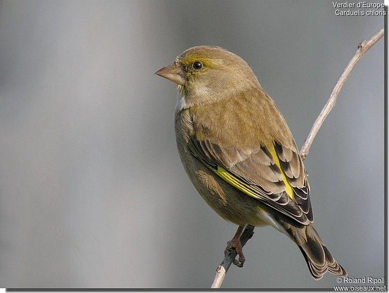 Verdier d 39 europe femelle ref rori77261 for Liste oiseaux des jardins