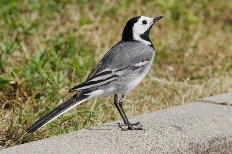 Bergeronnette grise ref roro69891 for Oiseau noir et gris