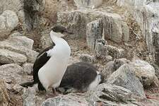 Cormoran antarctique